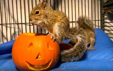 squirrel rescue pumpkin