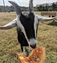 goat rescue pumpkin