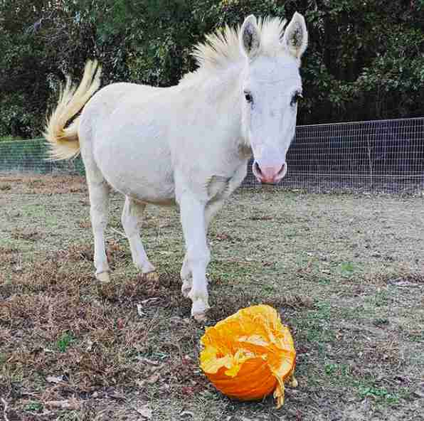 goat pumpkin snack farm rescue