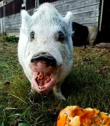 pig pumpkin rescue