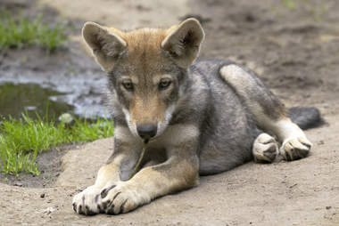 Wolf pups standing close to den