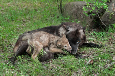 Adult gray wolf with baby