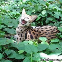 rescue serval