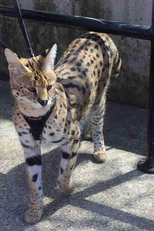 serval cat bite