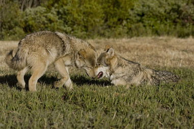 Baby wolf pups in Montana