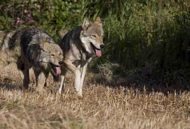 Adult gray wolf with two pups