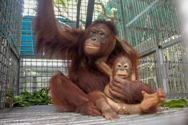 orangutan rescue