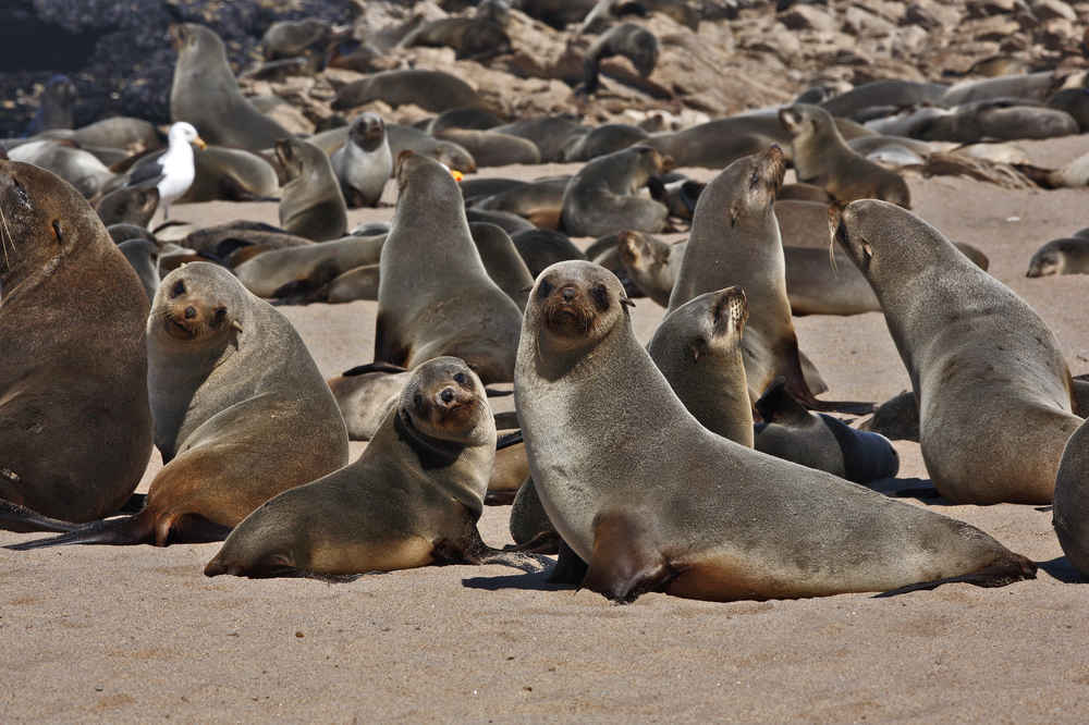 Man Fleeing 50 'Aggressive' Seals Rescued From Cliff by Coast Guard