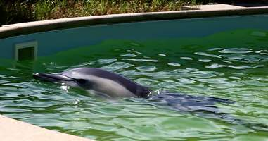 Dolphin being held in tiny, concrete pool