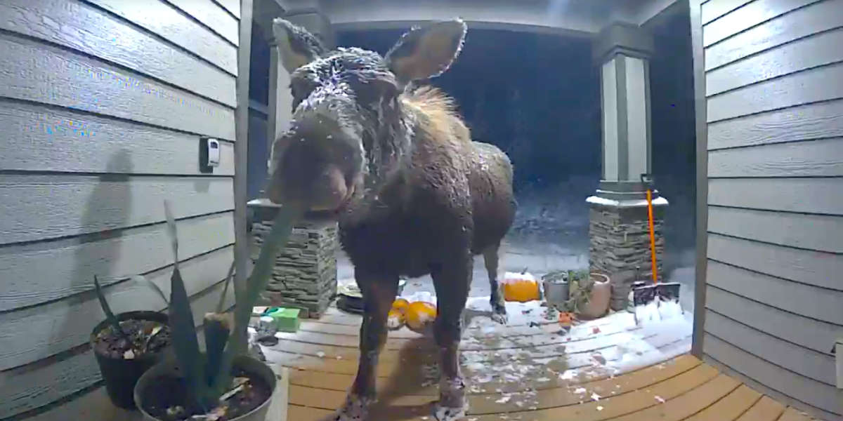 Woman Checks Security Camera To Find Huge Animal Visiting Her Porch