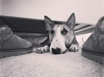 Luna the mini bull terrier steals her family's shoes