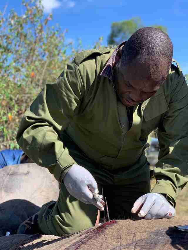 Vet removing arrow from injured elephant