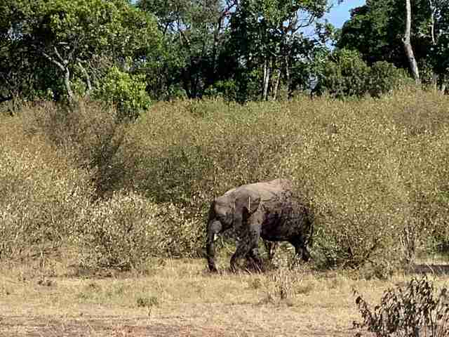 Young elephant running through bush with arrows in her body