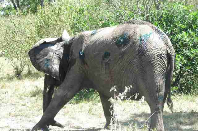Elephant walking away after getting injuries treated