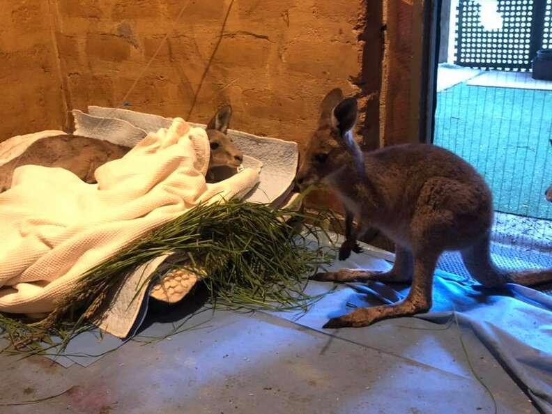 Kangaroo saved from old mineshaft in Victoria, Australia