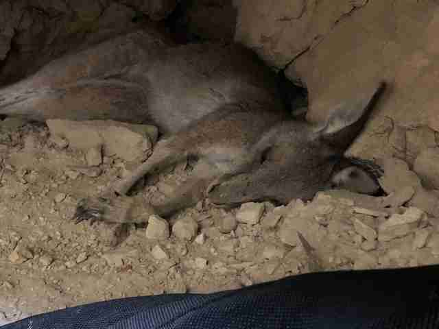 Kangaroo saved from old mineshaft in Victoria, Australia