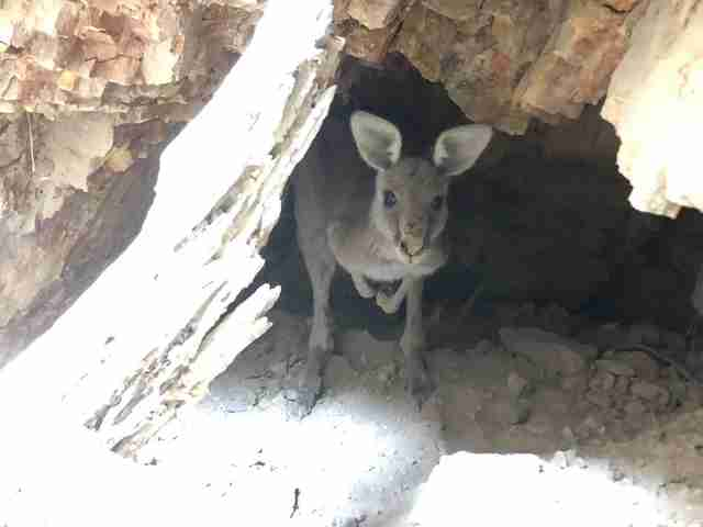 Kangaroo stuck in old mineshaft in Victoria, Australia