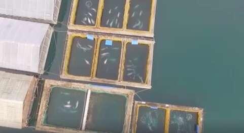 Belugas inside sea cages