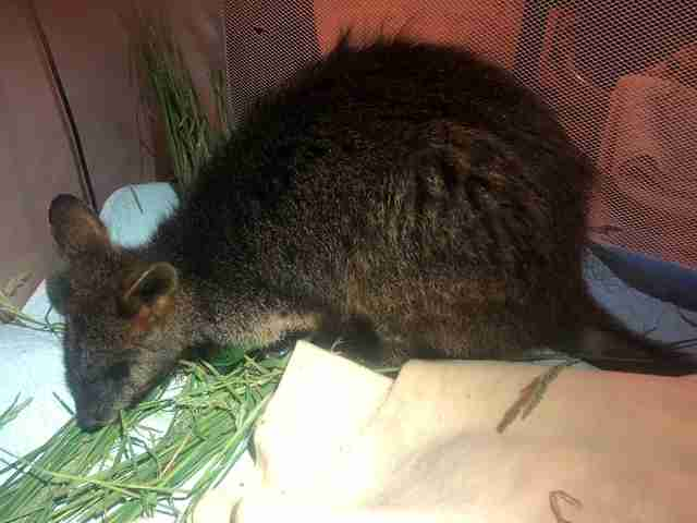Wallaby saved from mineshaft