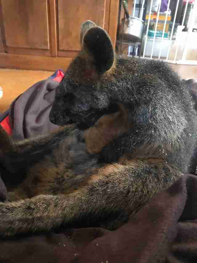 Wallaby saved after falling down mineshaft