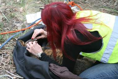 Rescuers saving wallaby down mineshaft