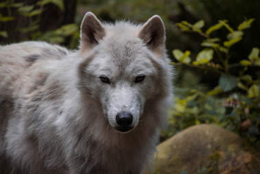 Wild gray wolf in Washington State