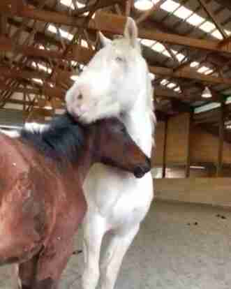 Mother horse bonds with orphaned foal