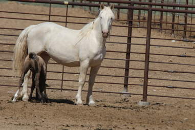 Wild mare with foal in BLM holding facility