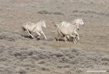 Wild horses getting rounded up by BLM