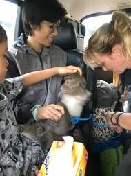 Rescued macaque monkey being driven to safety