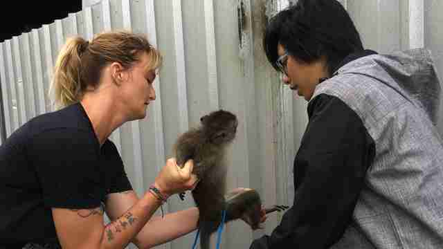 Rescuers helping macaque monkey