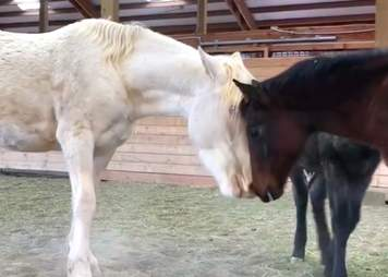 Mother horse bonds with orphaned baby