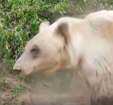 Bear saved from amusement park happily builds hibernation nest