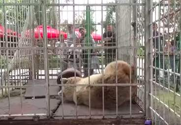 Bear caged in amusement park