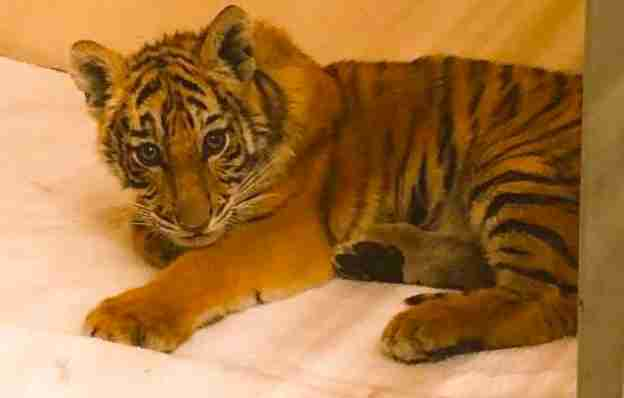 Baby Tiger Who Was Found In Duffel Bag Just Made His First Friend