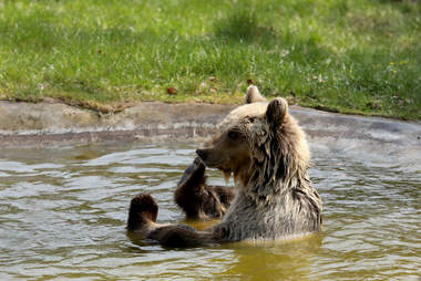 Rescued bear swimming at sanctuary