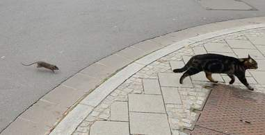Claude Alff filming a rat chasing a cat