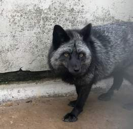 silver fox found in backyard
