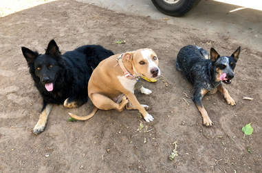 king rescue dog german shepherd