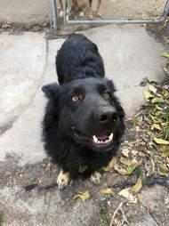 dog rescue german shepherd werewolf
