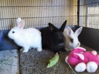 rescue rabbit california
