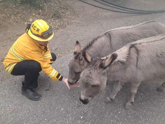 Firefighter feeds donkeys lost during Camp Fire