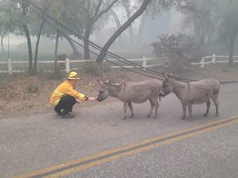 Fireman rescues lost donkeys during Camp Fire in California