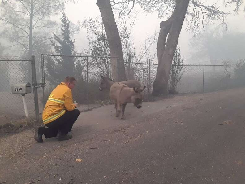 Firefighter Chris Harvey approaches two lost donkeys