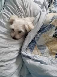 Maltese dog sleeping in bed