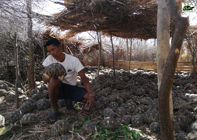 Rescuer with tortoises