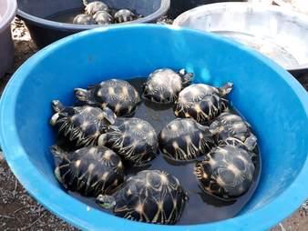 Rescued tortoises inside bucket