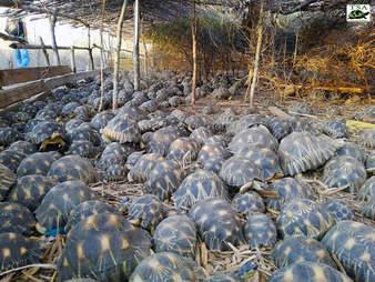Tortoises in open-air enclosure
