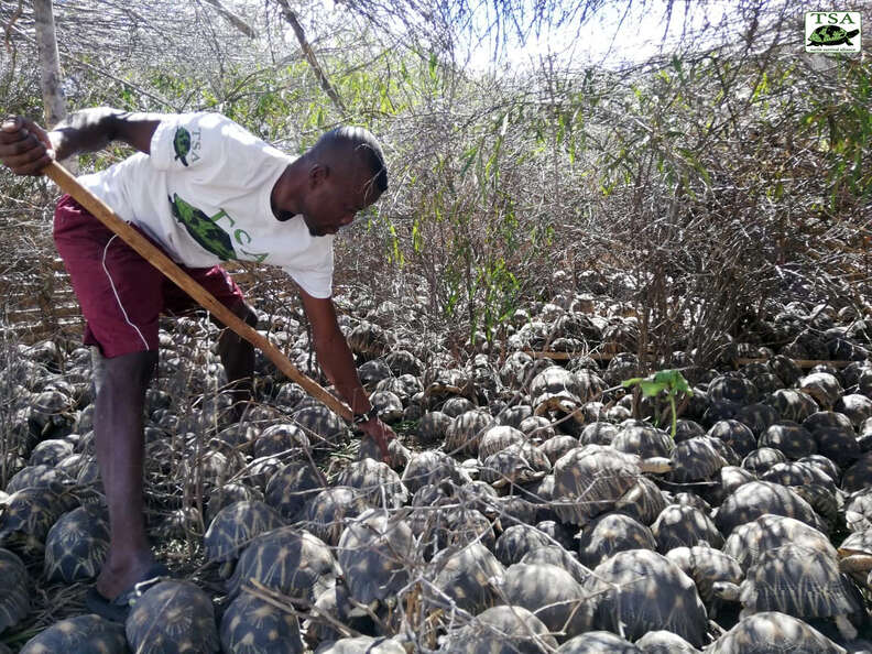 Rescuer with thousands of tortoises