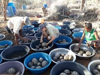 Rescuers moving tortoises